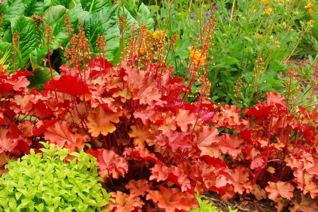 Гейхера: описание и особенности выращивания