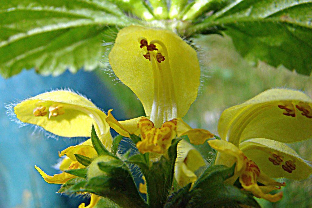 Цветок зеленчука