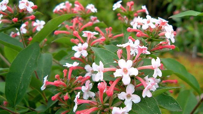 цветы абелии