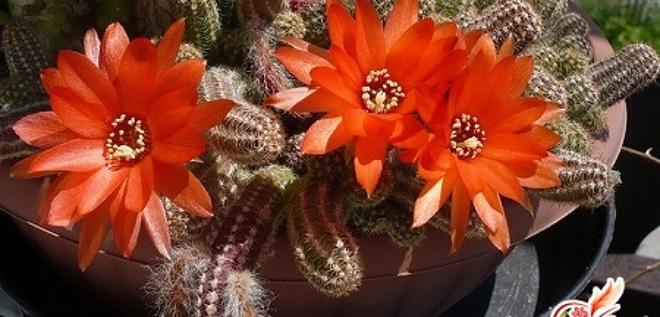 цветы кактуса лемэроцереуса