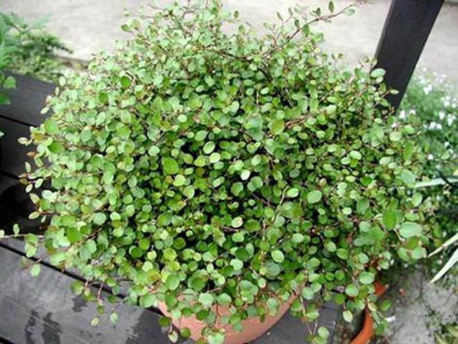 растение мюленбекия