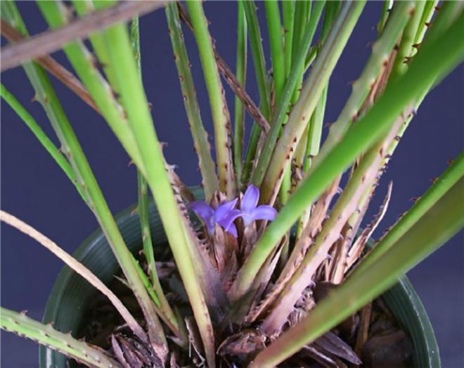 комнатное растение акантостахис