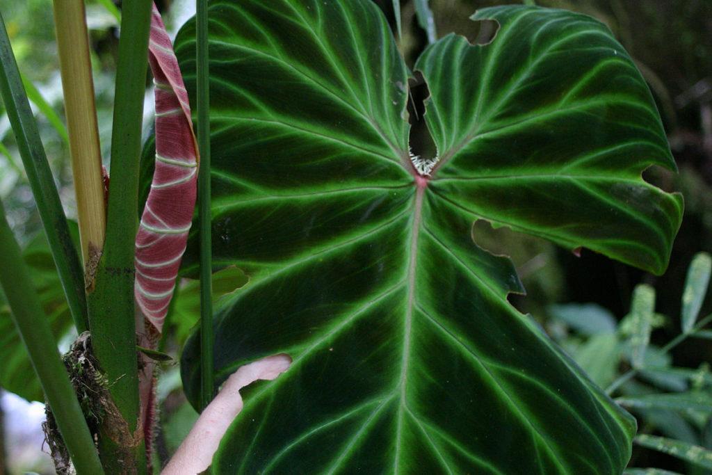 Филодендрон: описание и уход за растением