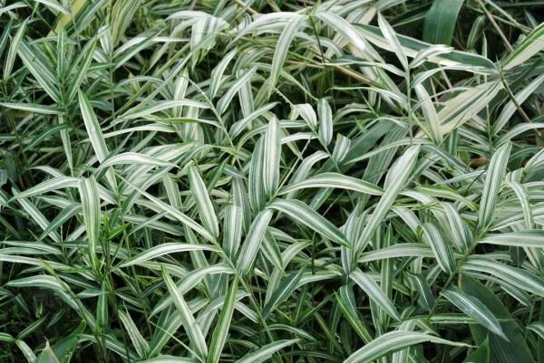 Уход и выращивание Арундинарии