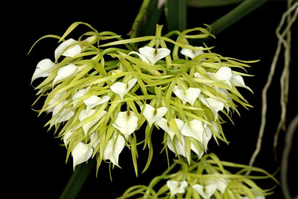 Орхидея Брассавола: выращивание, посадка и уход в домашних условиях
