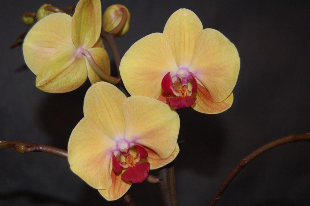 Орхидея фаленопсис Сандера