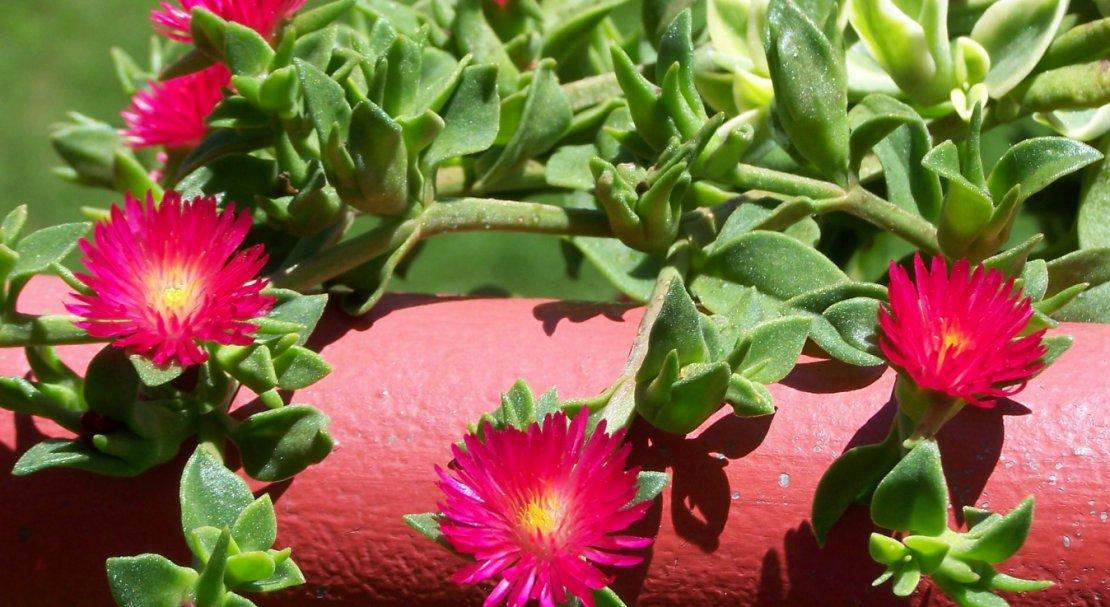 Аптения из семян