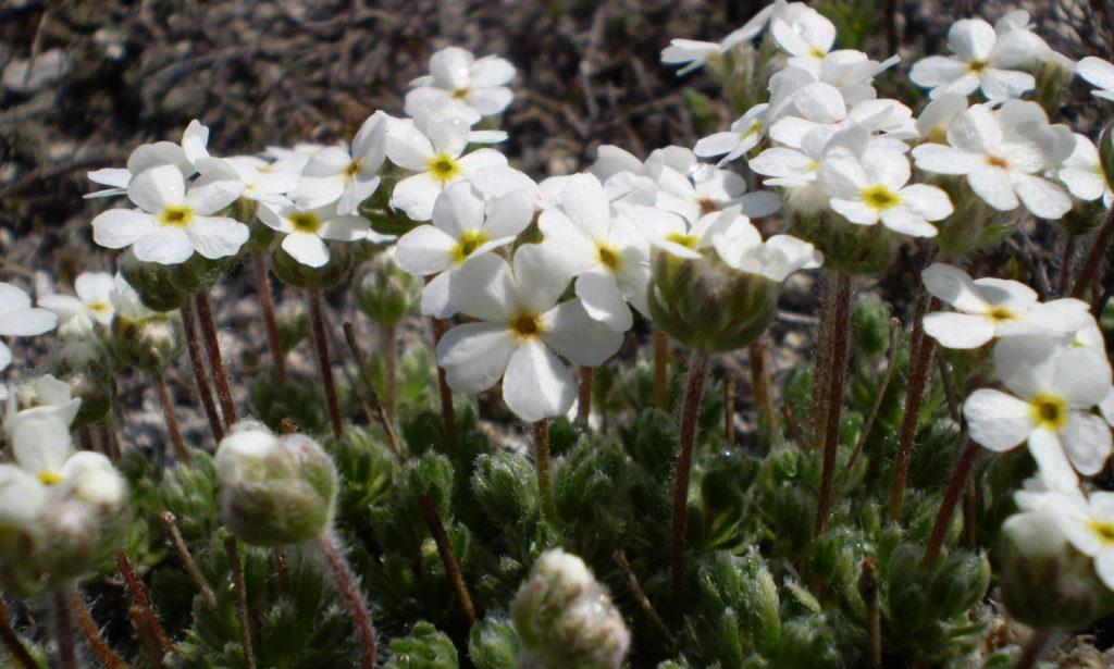 Проломник: описание, выращивание, сорта и уход