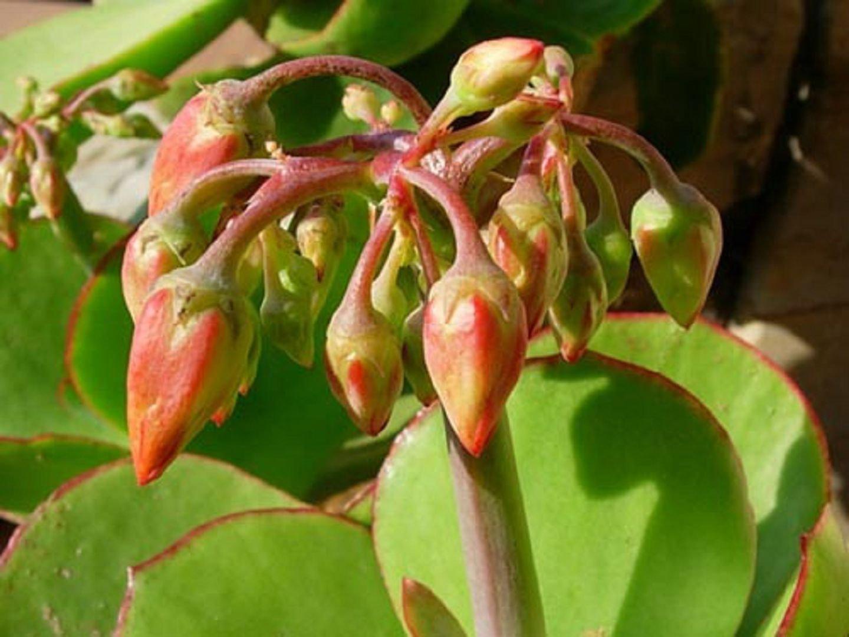 растение котиледон