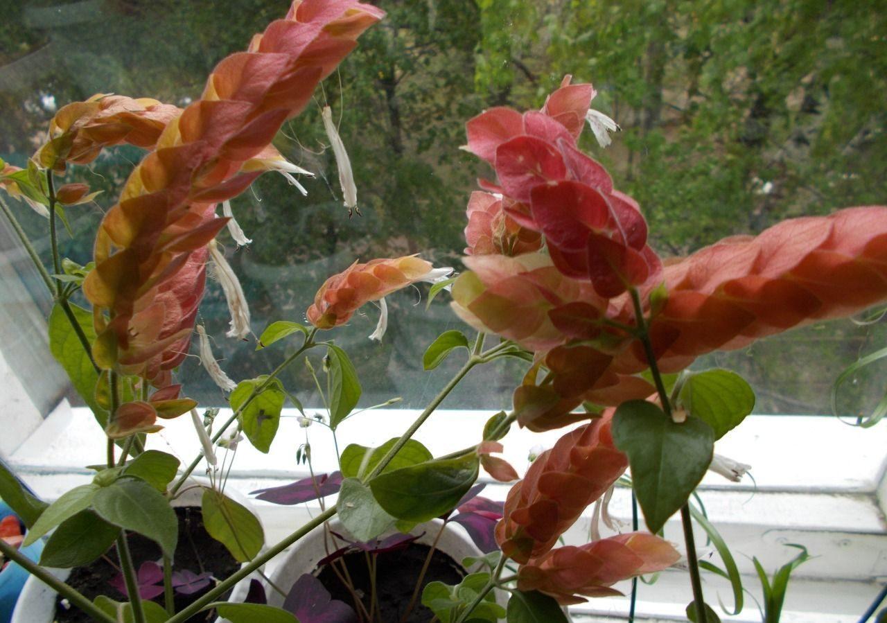 белопероне комнатные растения