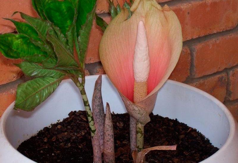 Растение Аморфофаллус