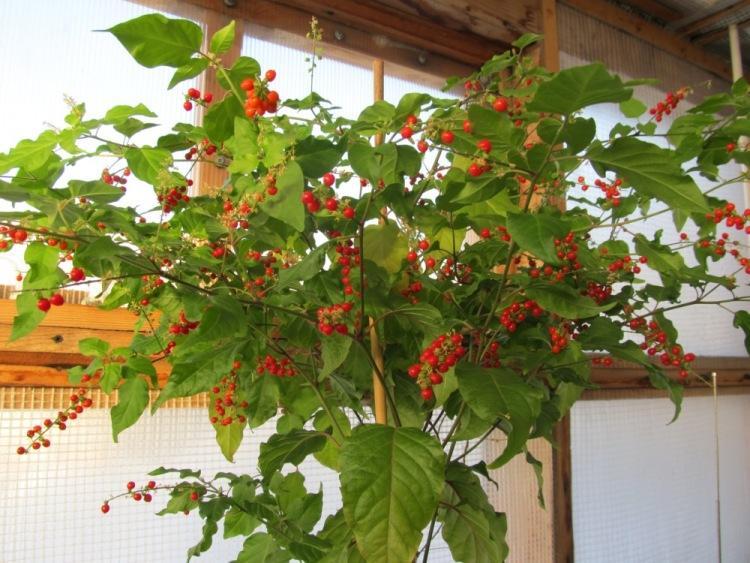 Комнатное растение ривина