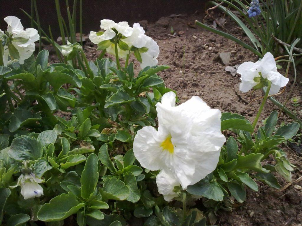 Выращивание белой фиалки