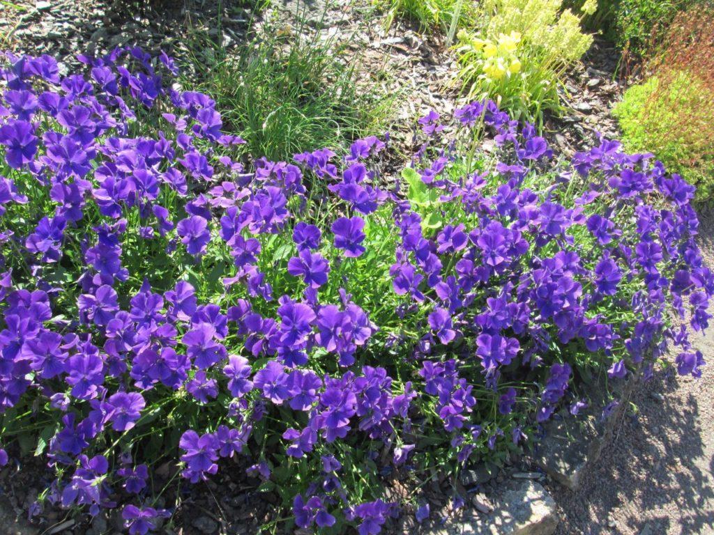 Рогатая фиалка: выращивание в открытом грунте