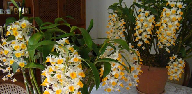 орхидея дендробиум цветет