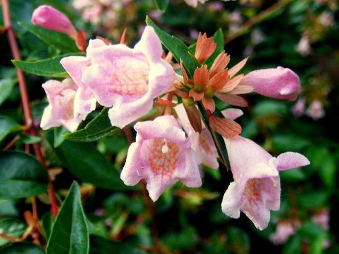 растение абелия