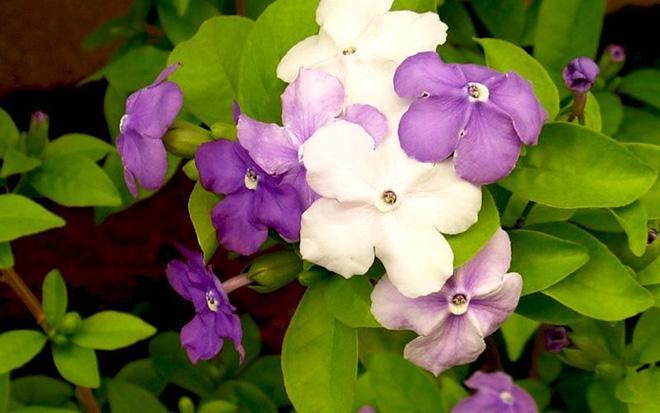 цветы рунфельсии