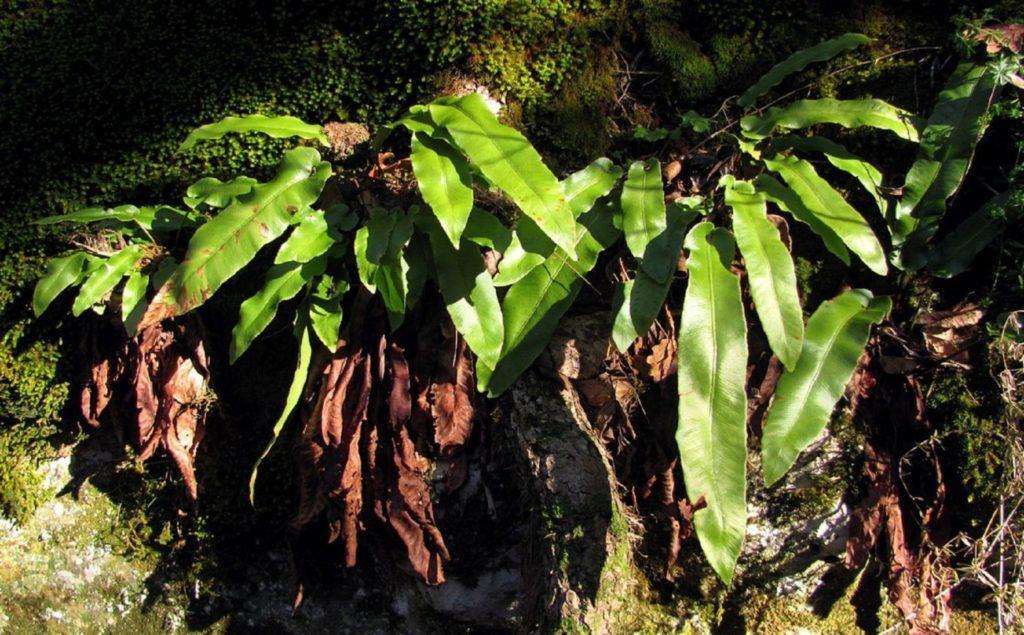 Папоротник листовик сколопендровый: особенности выращивания