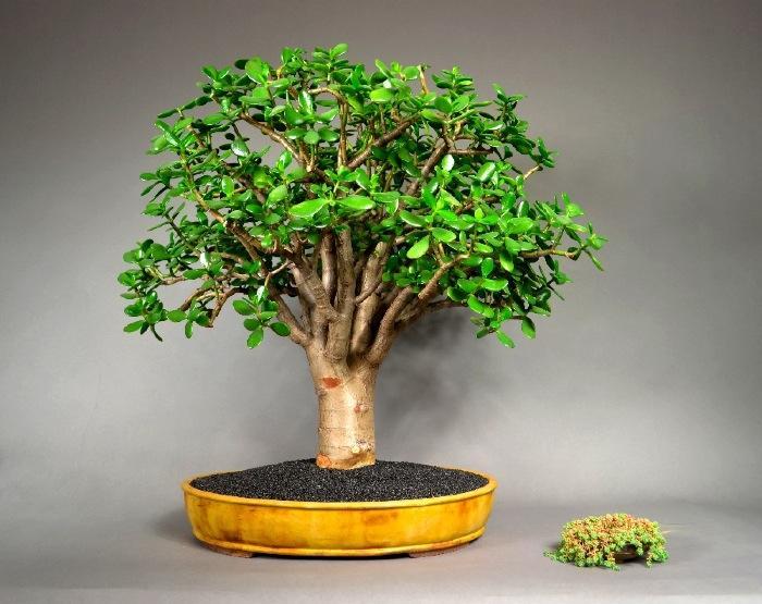 Внешний вид денежного дерева