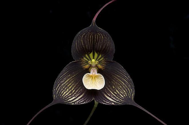 ццветок орхидея дракула