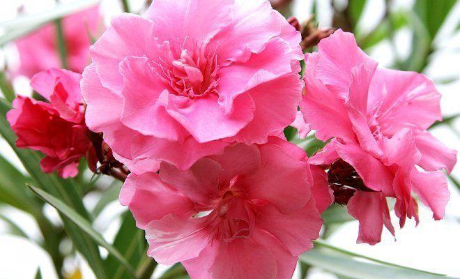 цветы олеандра