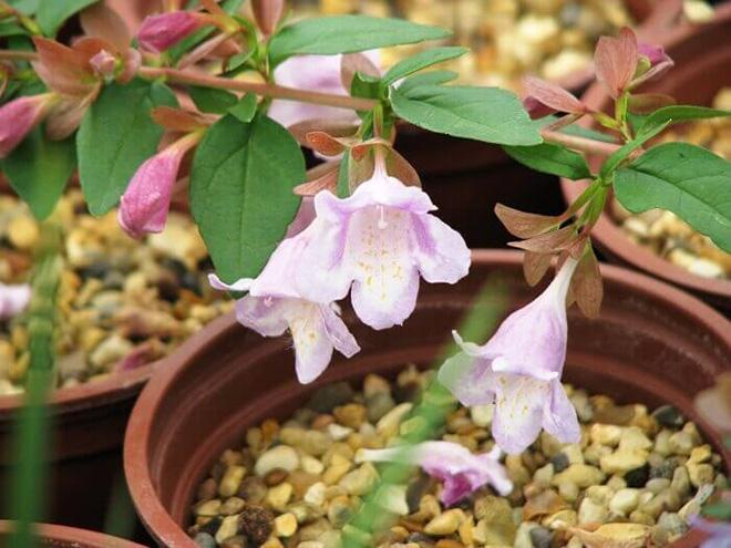 цветок абелия