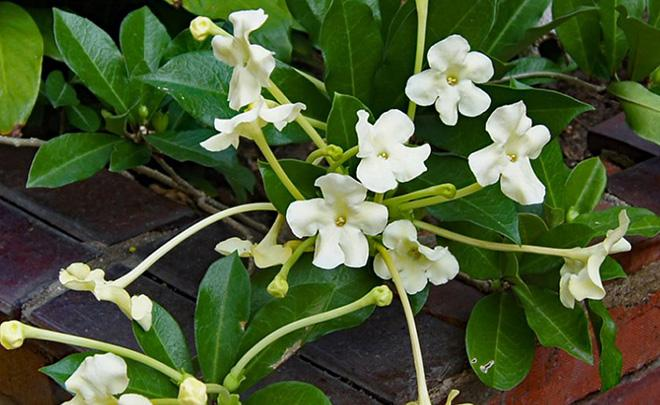белые цветы брунфельсии