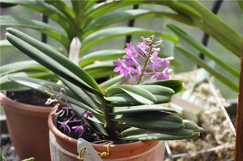Орхидея Аскоцентрум в горшке