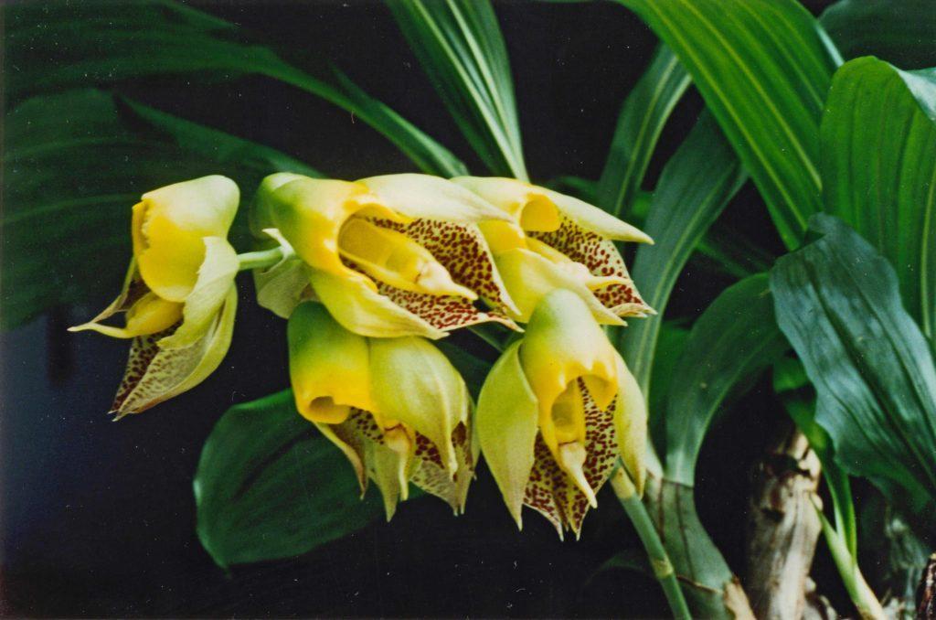 Орхидея Катасетум: уход в домашних условиях