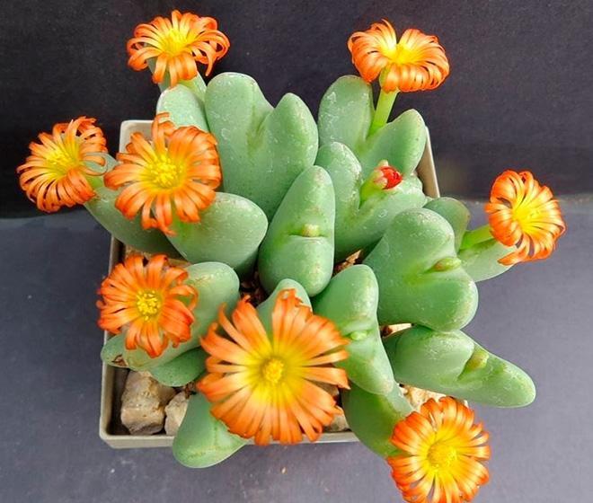 цветы конофитума