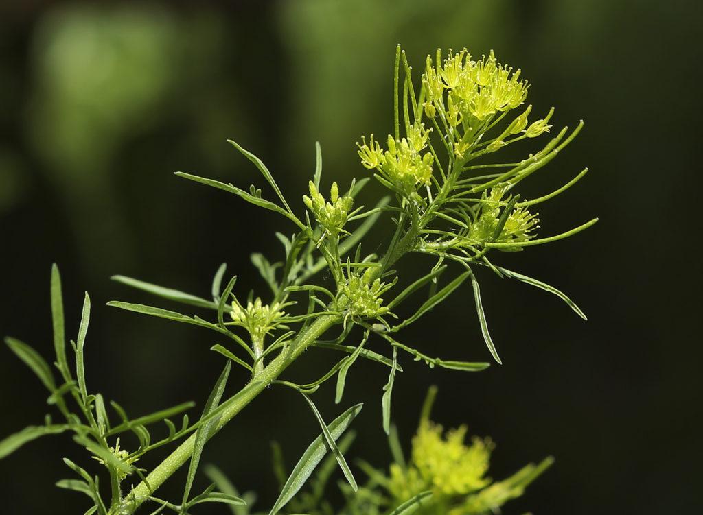 Гулявник лекарственный: описание растения и виды