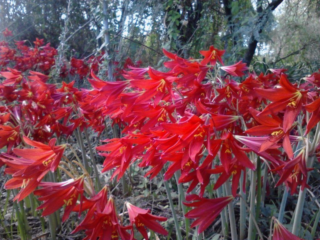 Родофиала: уход и размножение цветка