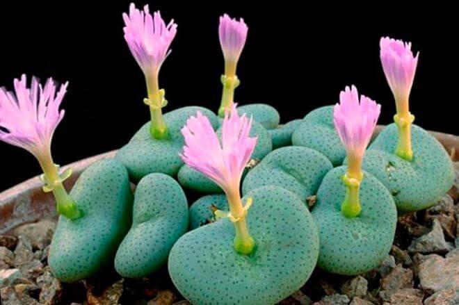 растение конофитум