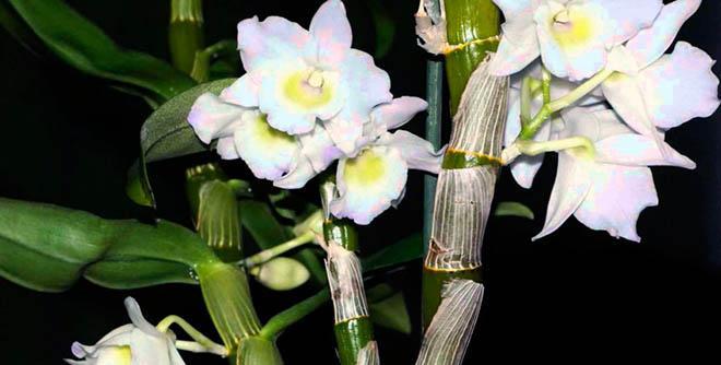 растение орхидея дендробиум