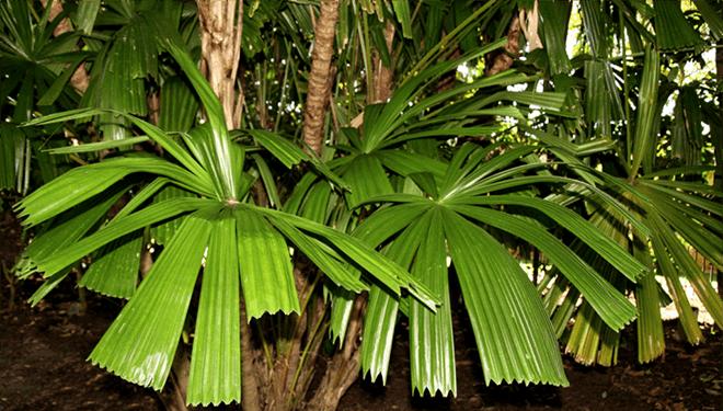 растение ликуала