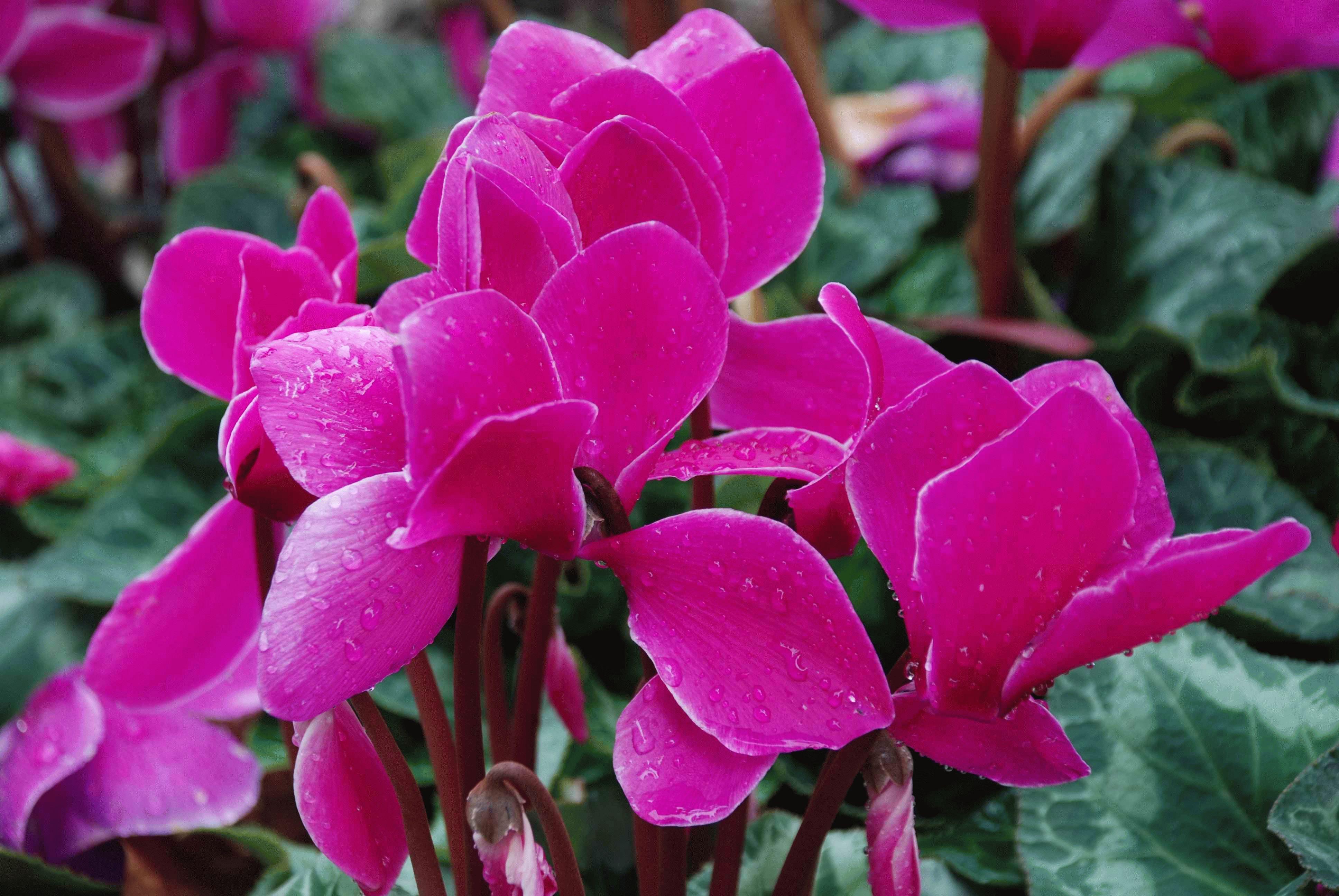 Цветок Цикламен
