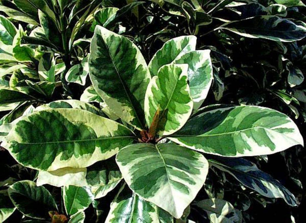 Выращивание цветка пизония