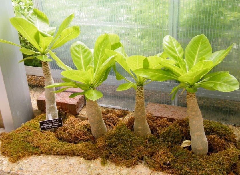 Выращивание бригамии: уход в домашних условиях