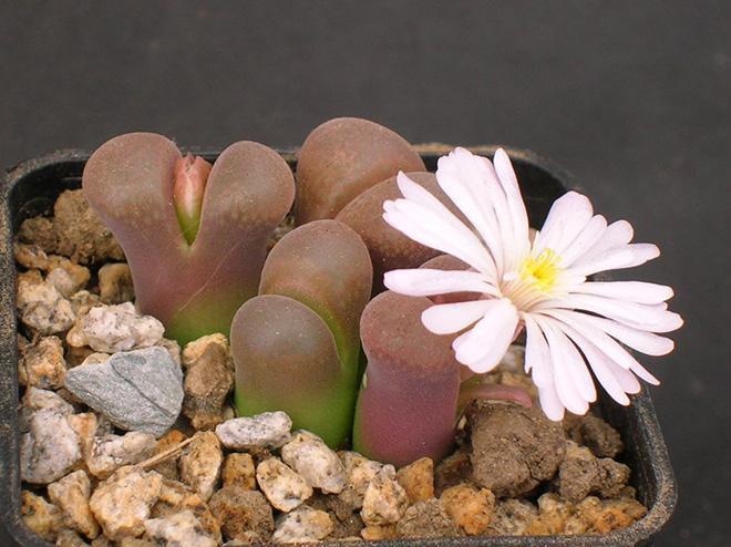 цветок конофитум