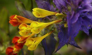 Марьянник: описание, выращивание и применение