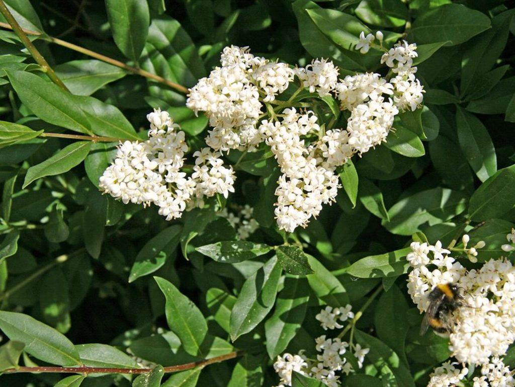 Бирючина: посадка и уход, сорта и выращивание