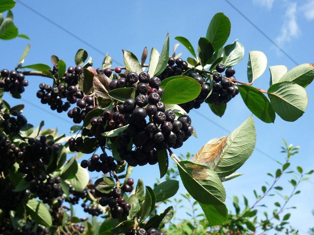 Плоды аронии