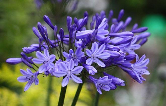 Цветы агапантуса