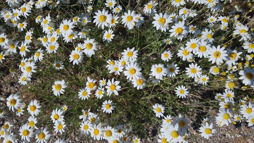 Анациклус: описание, уход и выращивание