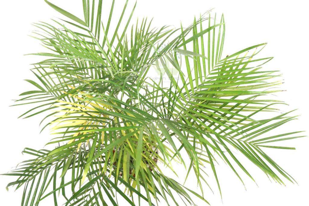 Трехтычинковая пальма в горшке