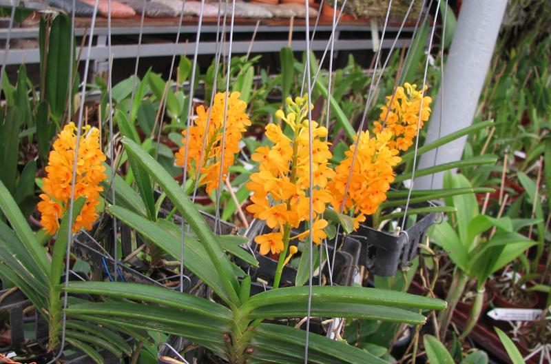Уход за орхидеей аскоцентрум