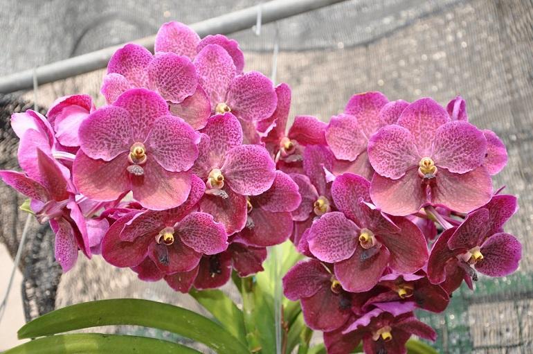 Цветение аскоценды