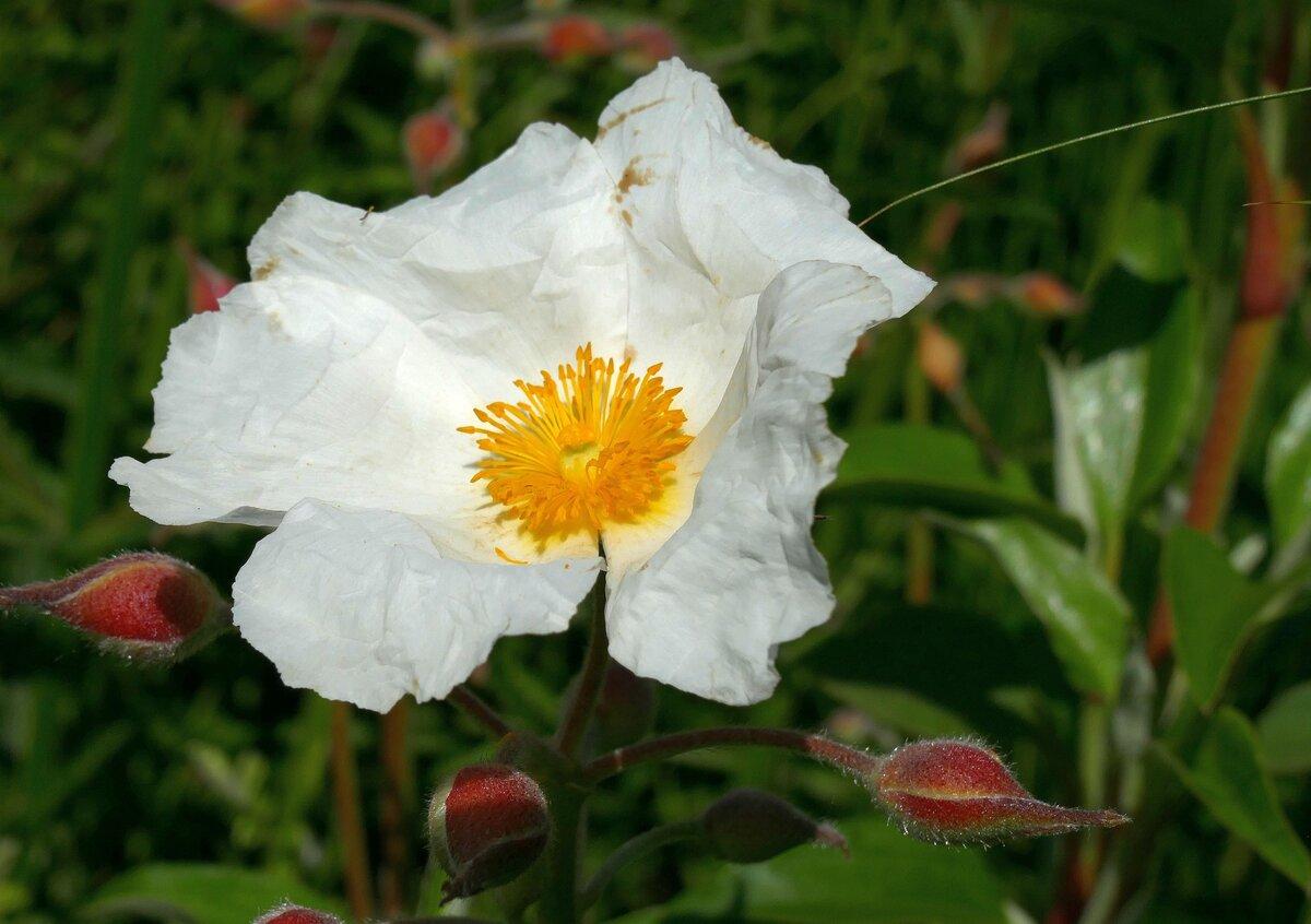 Беловатый ладанник