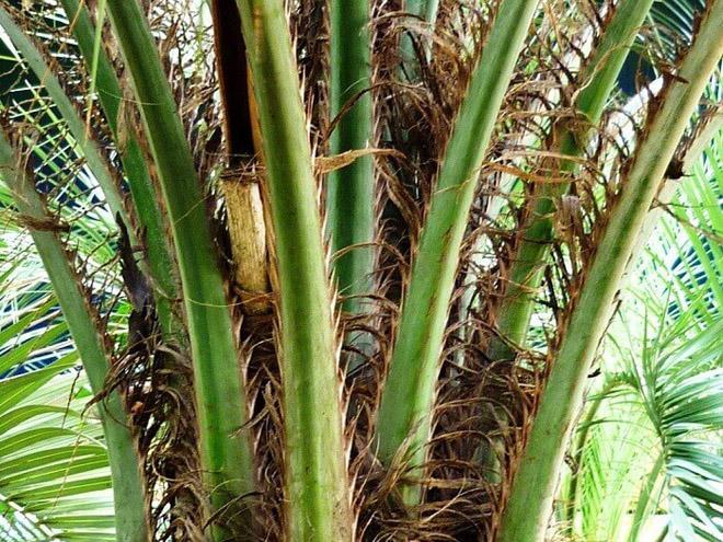 Пальма бутия