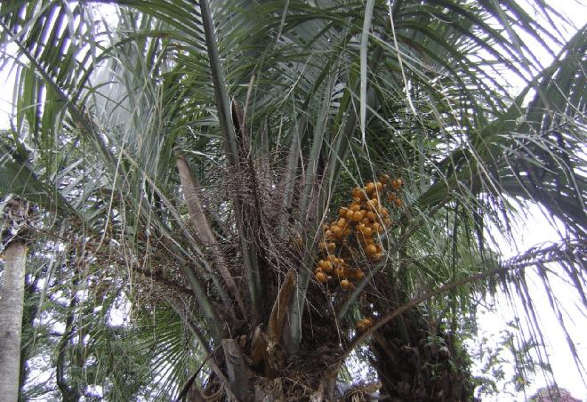 Пальма бутия с плодами